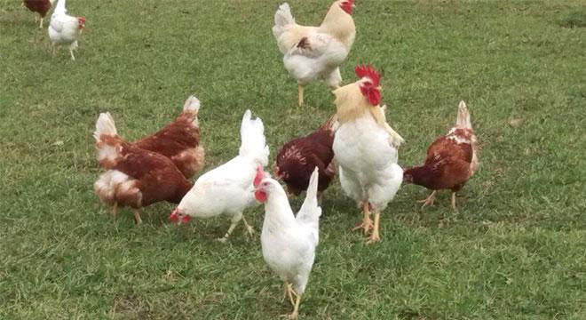 Biofleisch, Hühnerfleisch, Putenfleisch